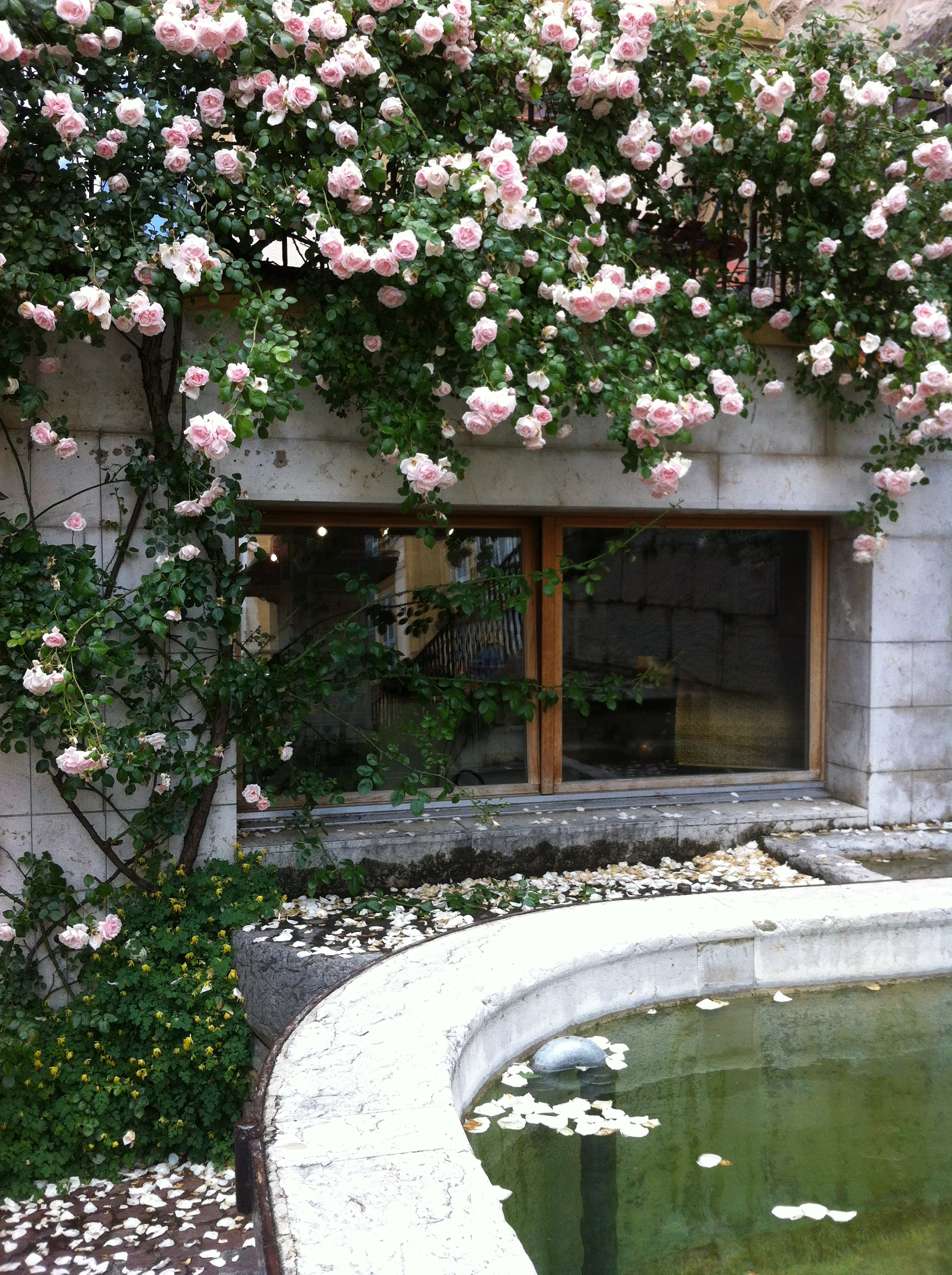 Blooming rosebush and rose petals on the fountain.